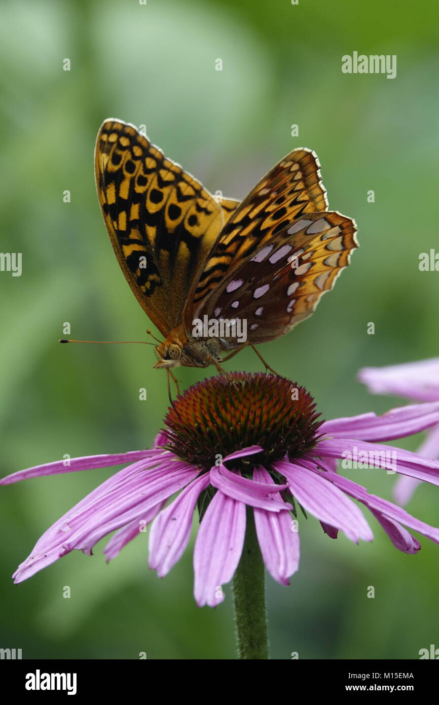 Yellow Butterfly Sitting on Echinacea Plant Stock Photo