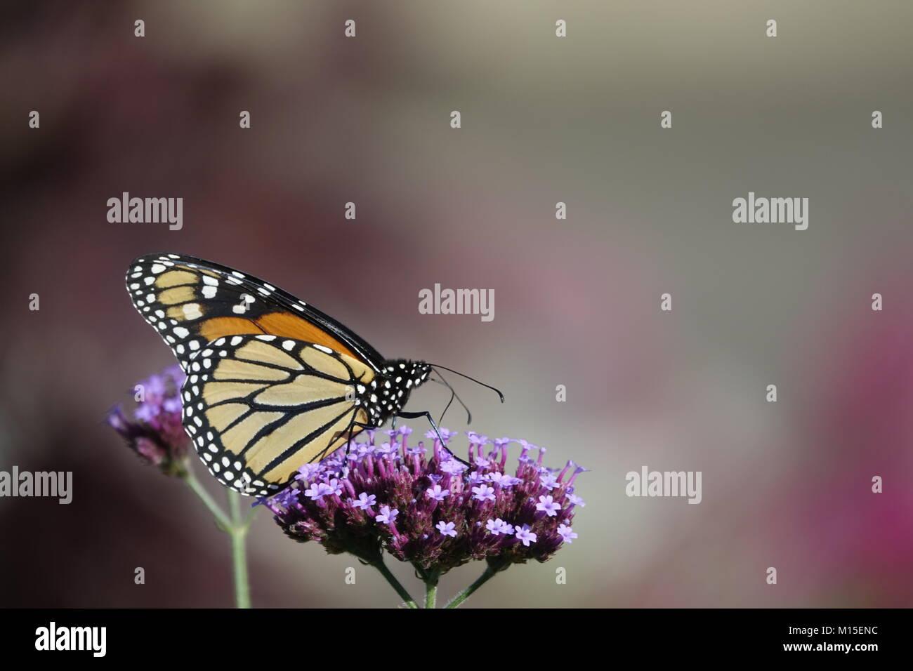 Monarch Butterfly in Purple Flower Garden Stock Photo