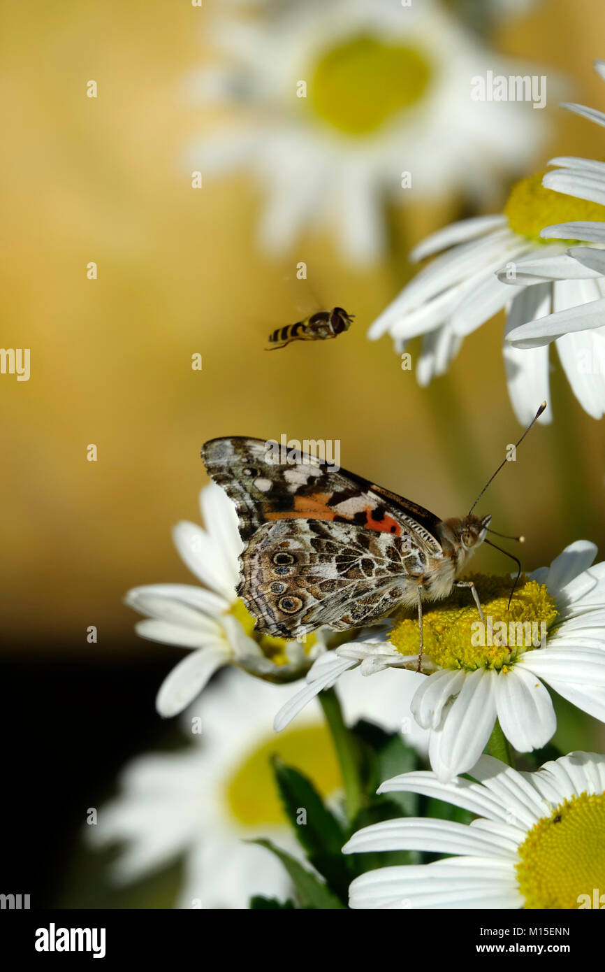 A Bee and a Moth Pollinating on a Warm Spring Day Stock Photo