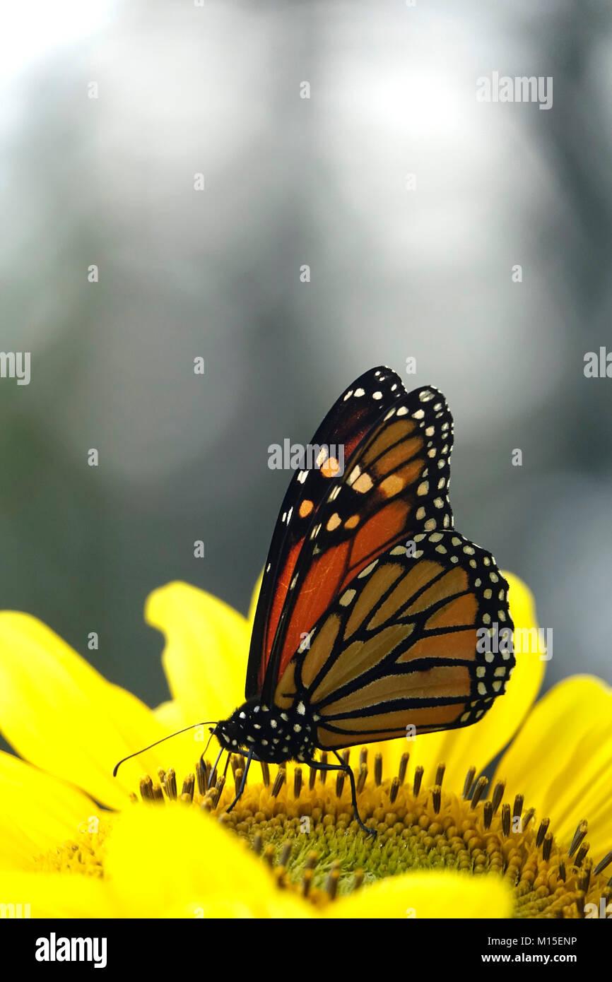 Monarch Butterfly in Yellow Flower Garden Stock Photo