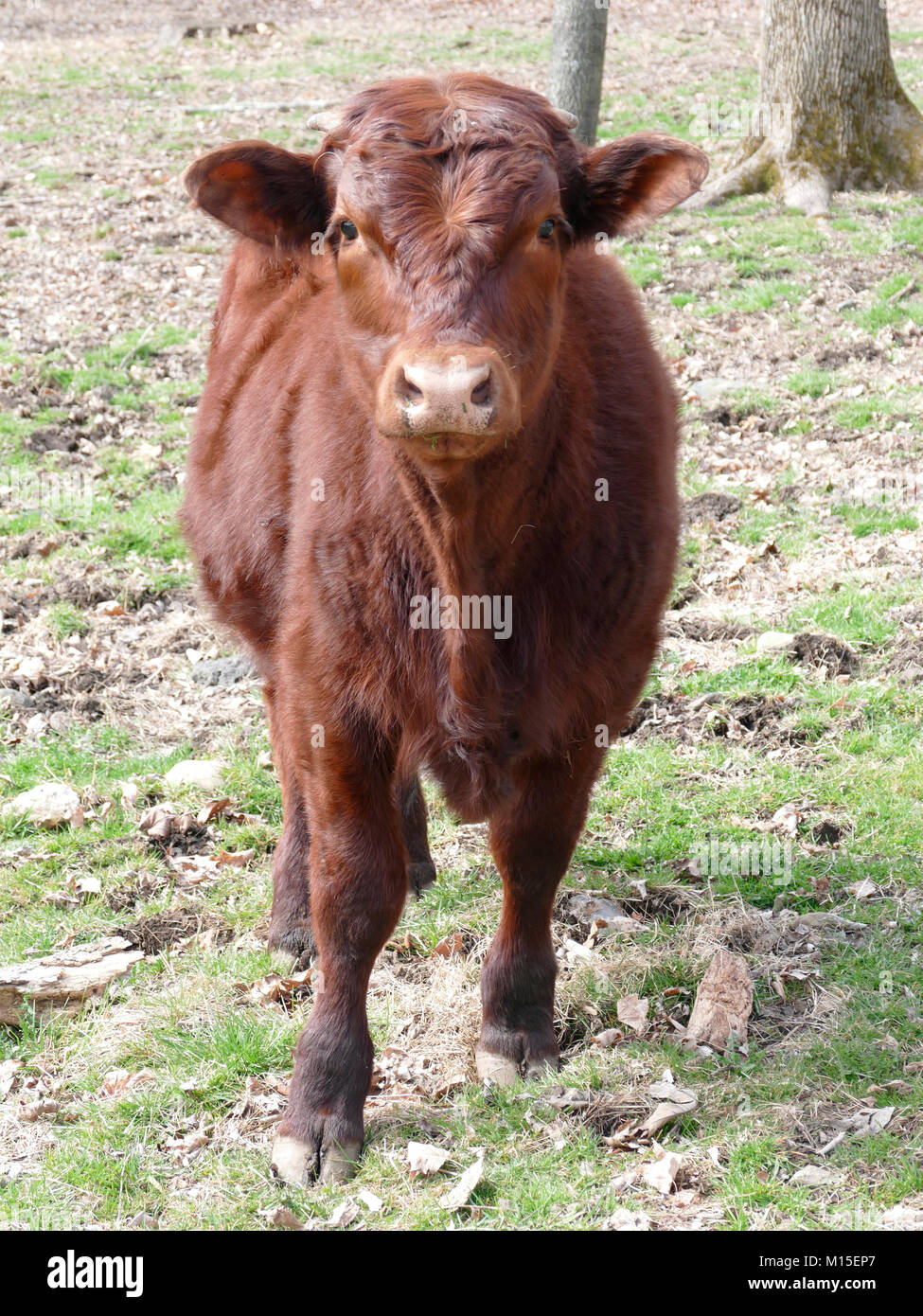 Brown Devon Cattle Posing for Camera on a Farm - Stock Image