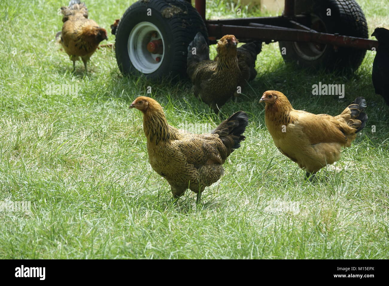 A Bunch of Roaming Brown Chickens on a Farm Stock Photo