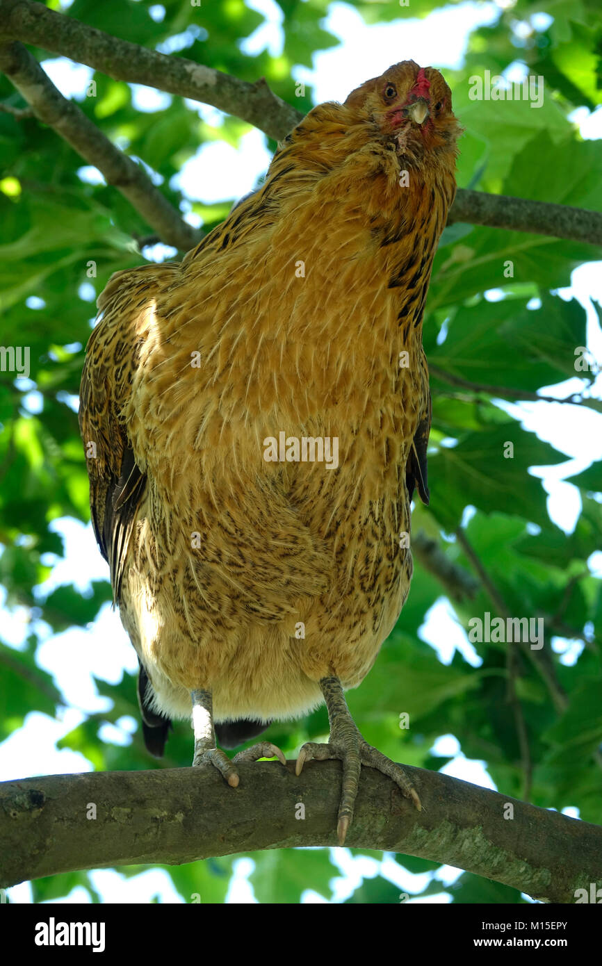 Brown Chicken Sitting Outside on a Tree Branch Stock Photo