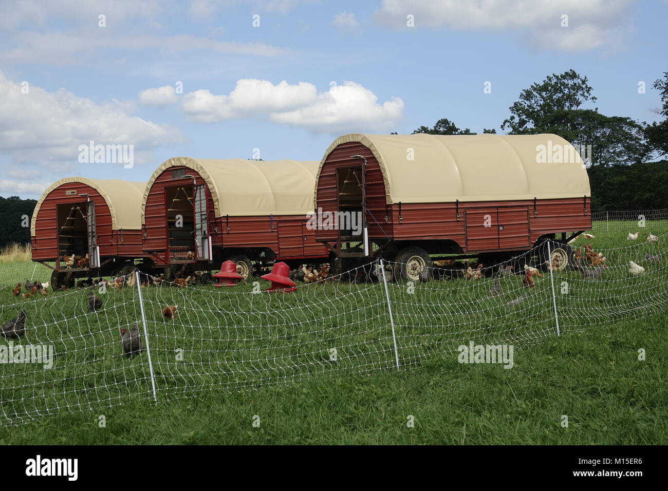 Chickens Roaming on a Farm with Red Trailers on a Summer Day Stock Photo