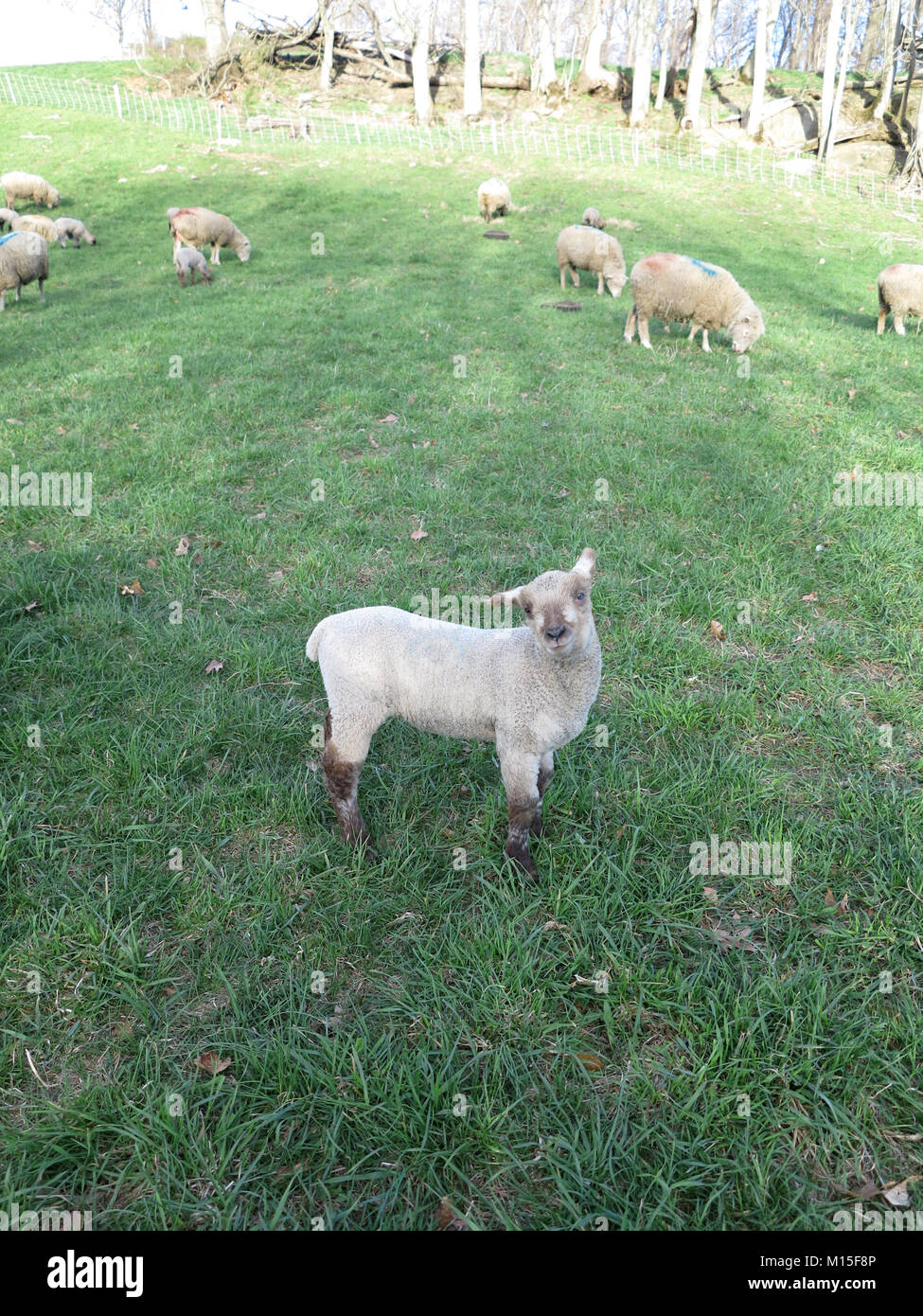 A Flock of Lambs on a Farm Eating while One is Posing Stock Photo
