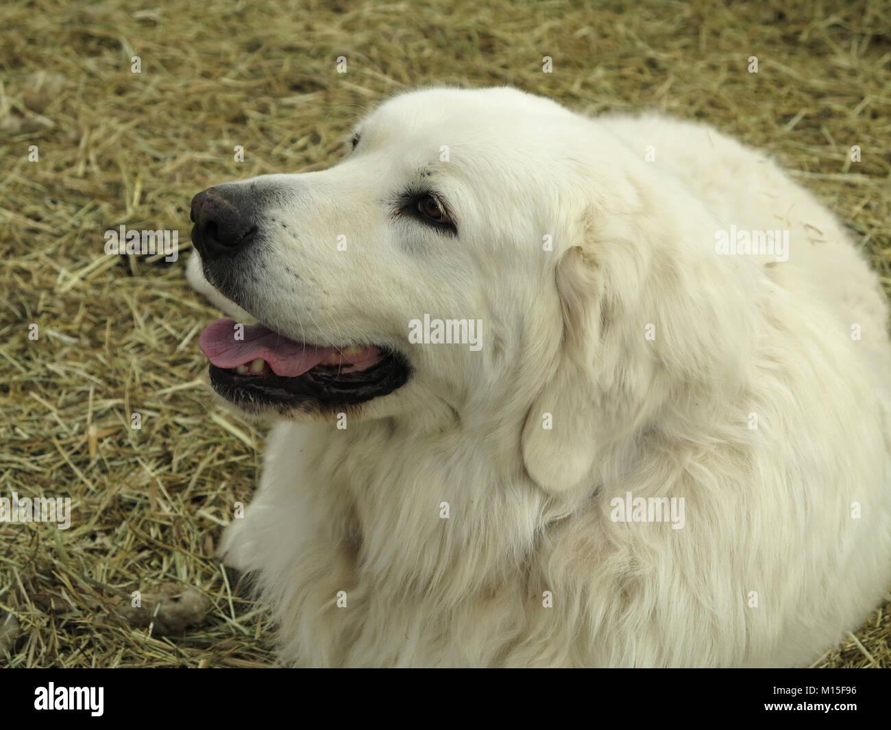 Maremma Sheepdog Smiling Stock Photo