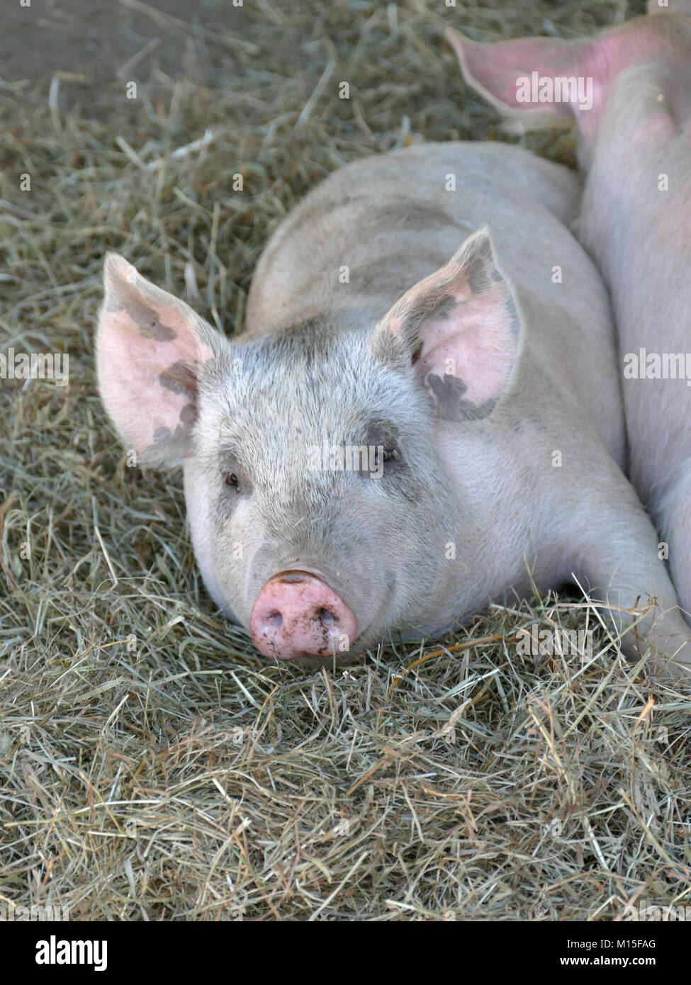 Happy Pink Pigs in a Pigpen Stock Photo
