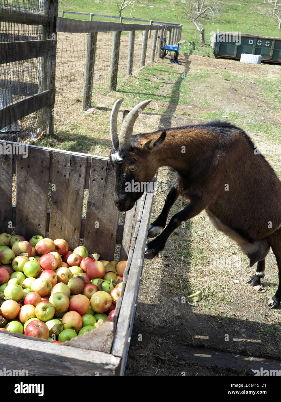 Pigmy Goats Searching for the Perfect Apple Stock Photo