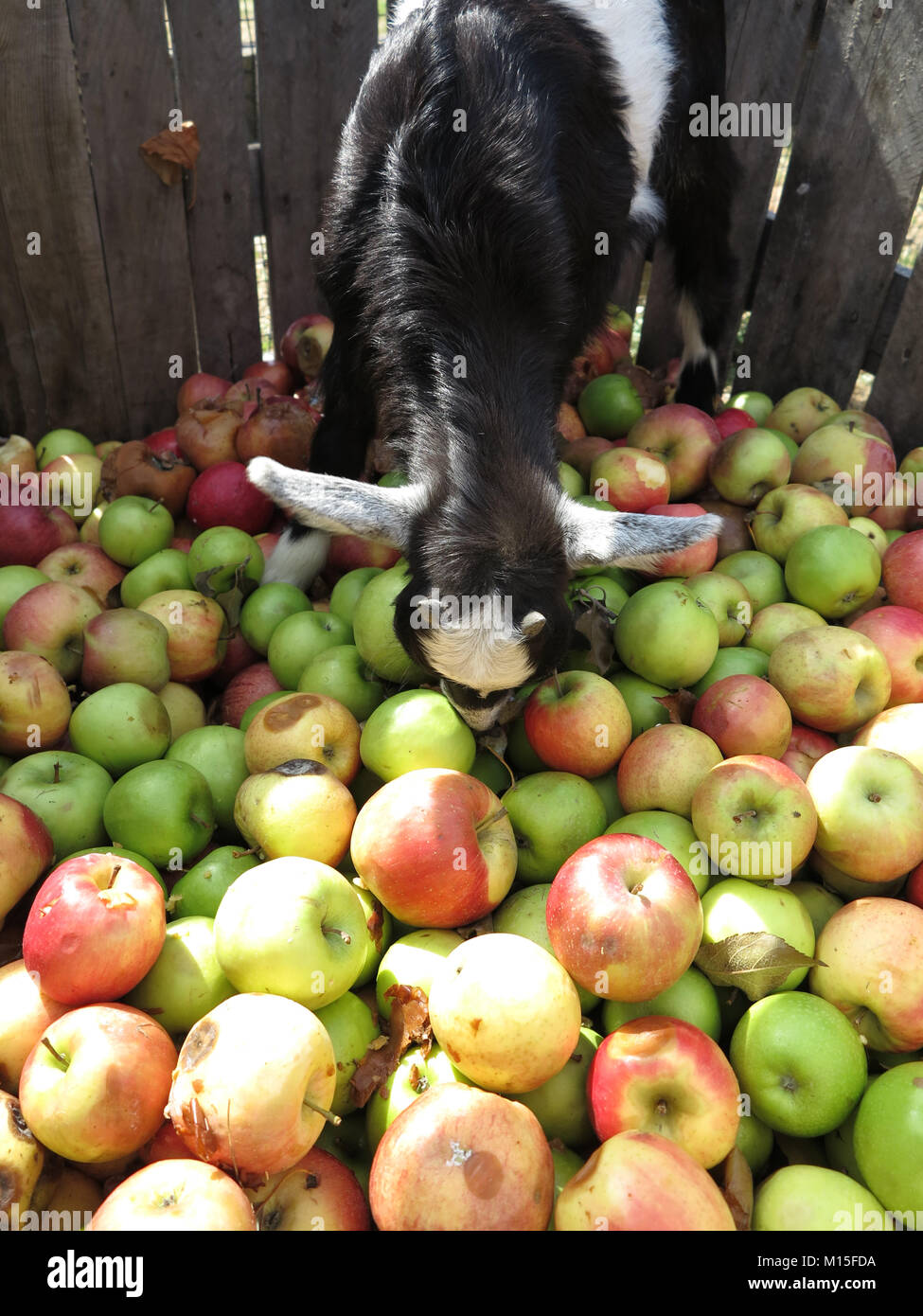 Pigmy Goats Searching for the Perfect Apple - Stock Image