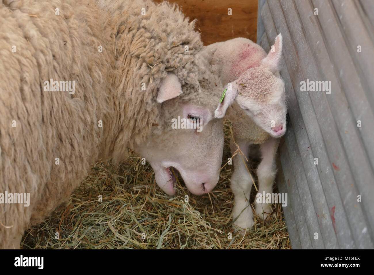 Newborn Baby Sheep in a Farm on a Beautiful Spring Day - Stock Image