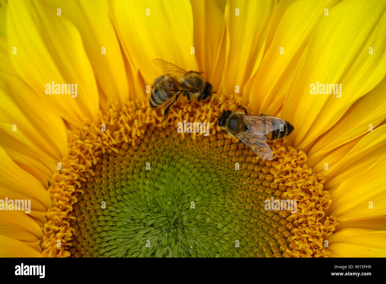 Singular Happy Yellow Sunflower in the Garden with Bees Stock Photo