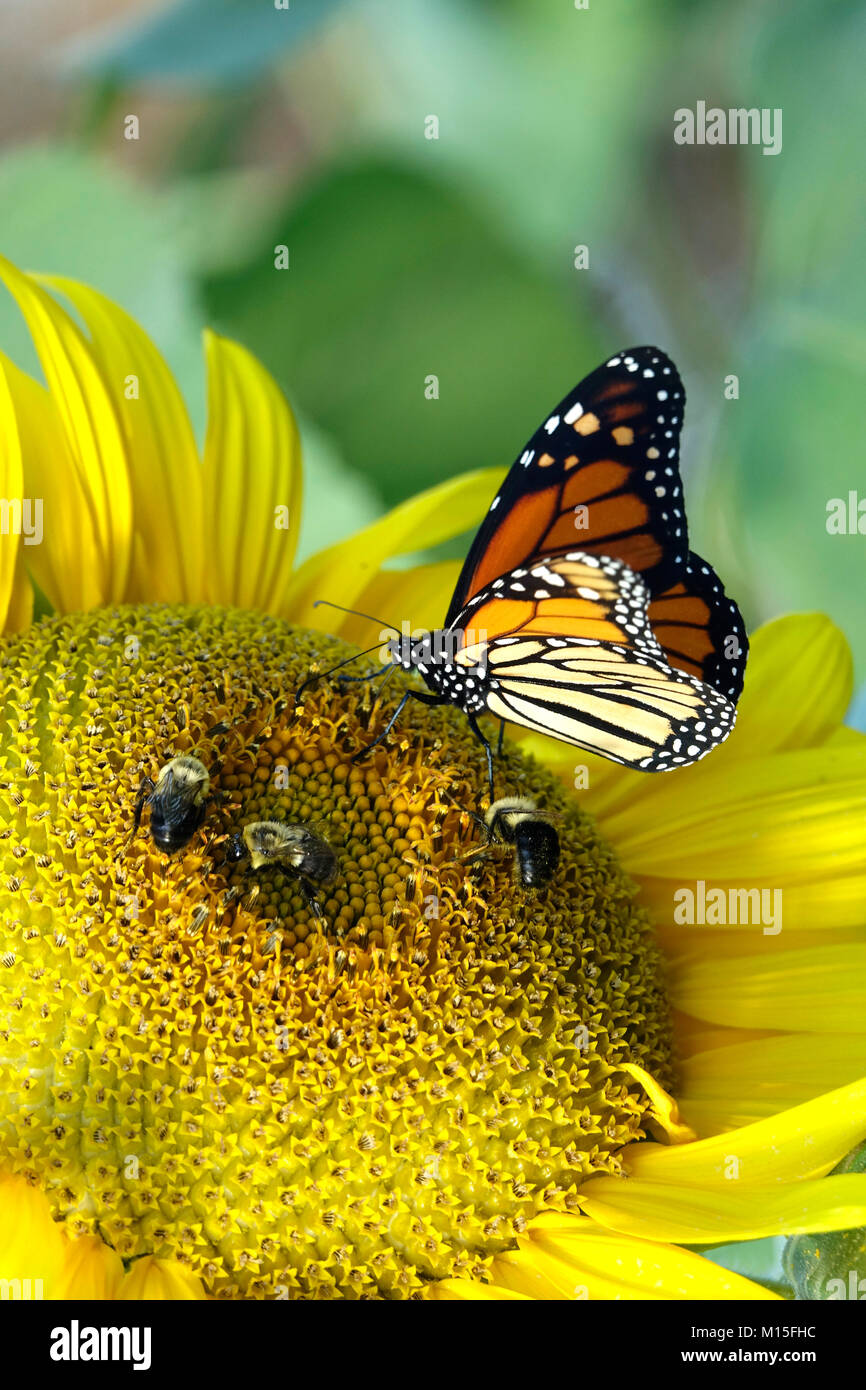 Happy Sunflower with Monarch Butterfly and Bees Stock Photo