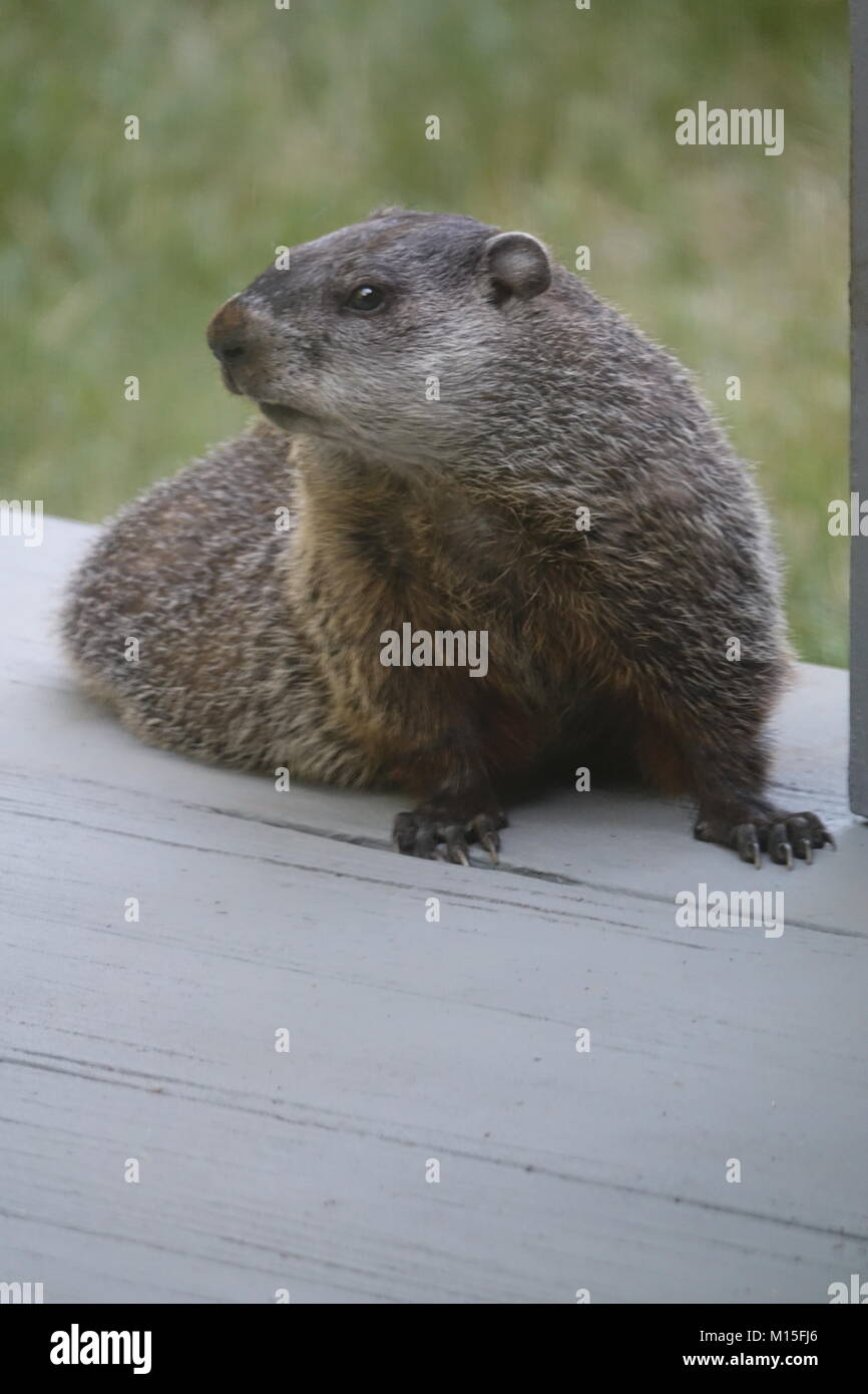An Alert Woodchuck Outside on the Wooden Deck - Stock Image