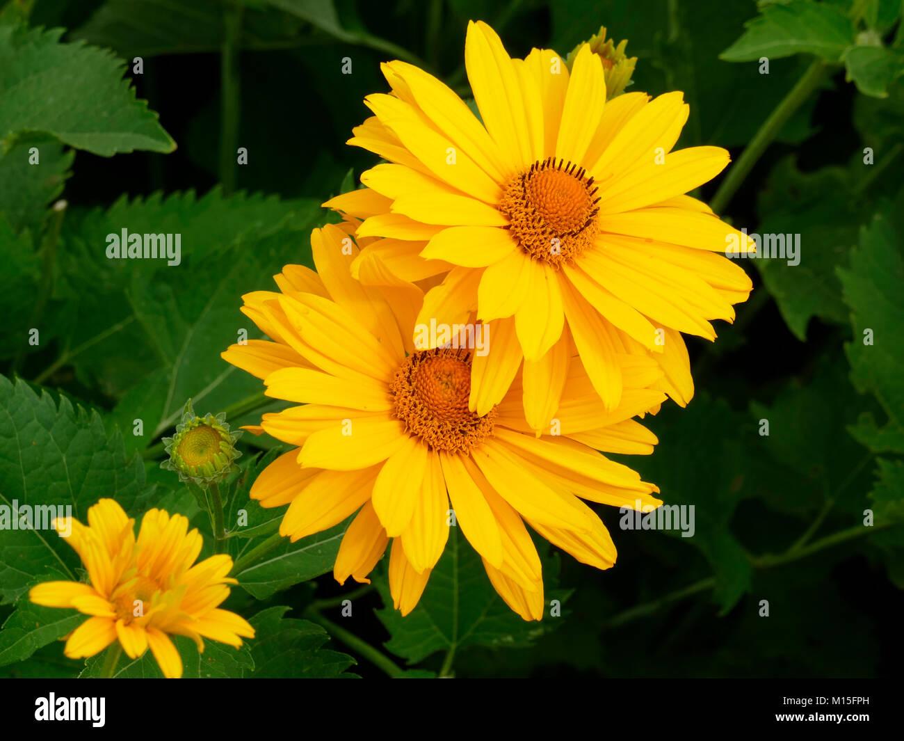 Bunch of Yellow Blanket Flowers in a Garden Stock Photo