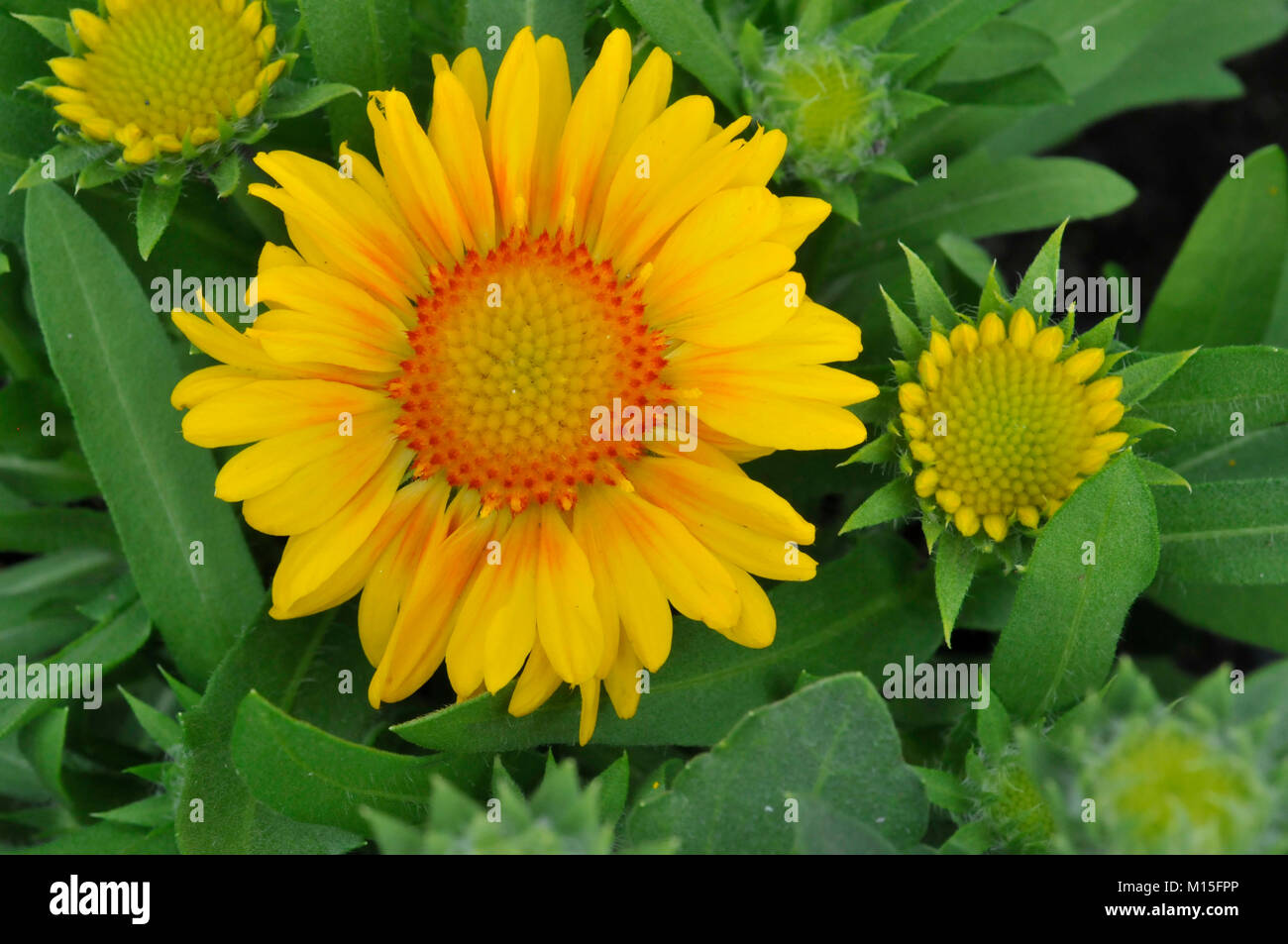 Three Yellow Blanket Flowers with Orange Center in Perennial Garden Stock Photo