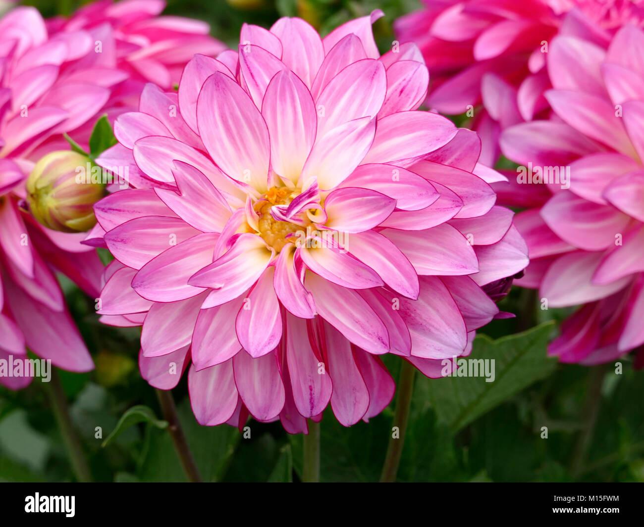Pink Dahlia in a Spring Home Garden Stock Photo