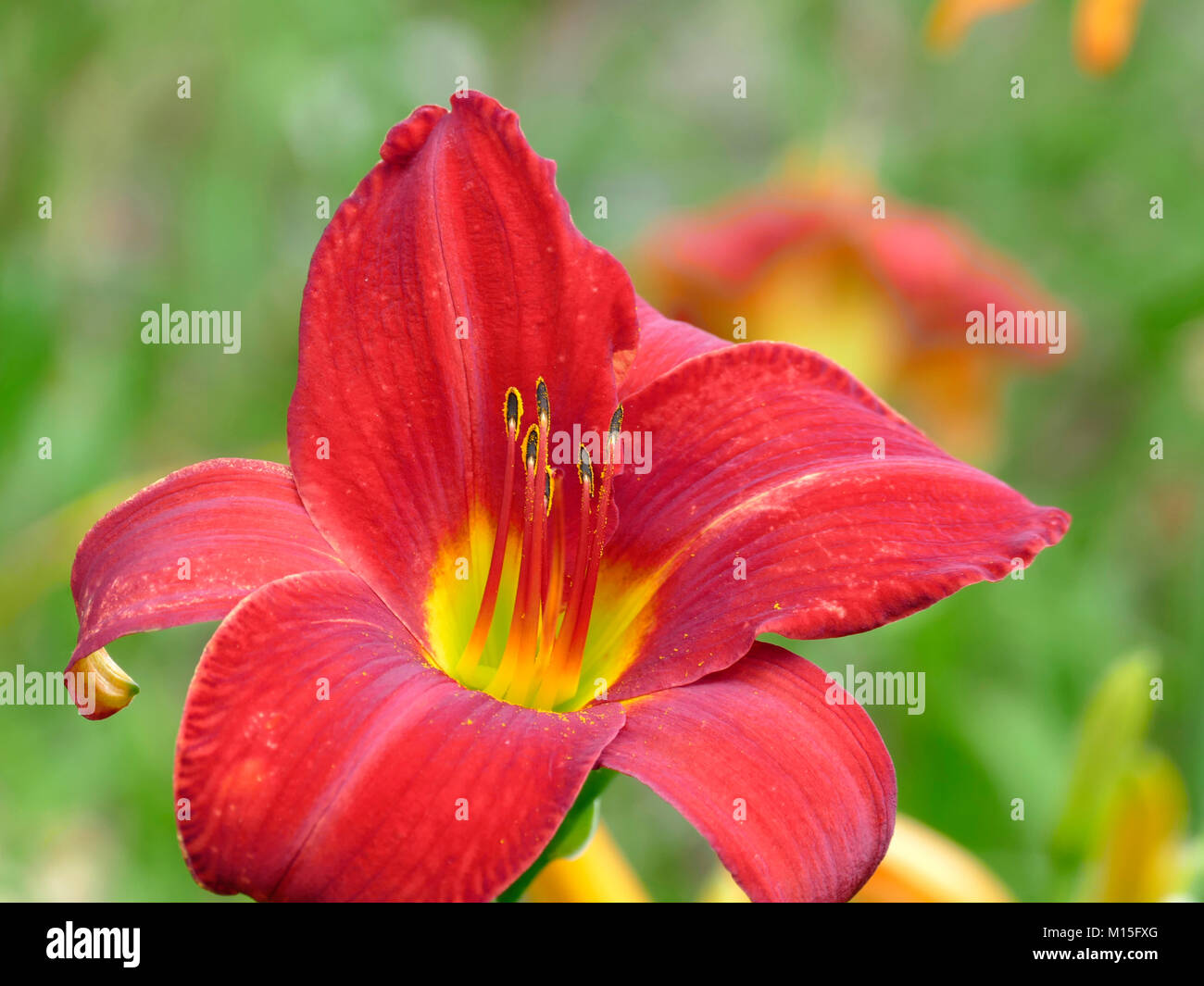 Peaceful Close-Up DayLily in Home Botanical Garden of Lilies Stock Photo
