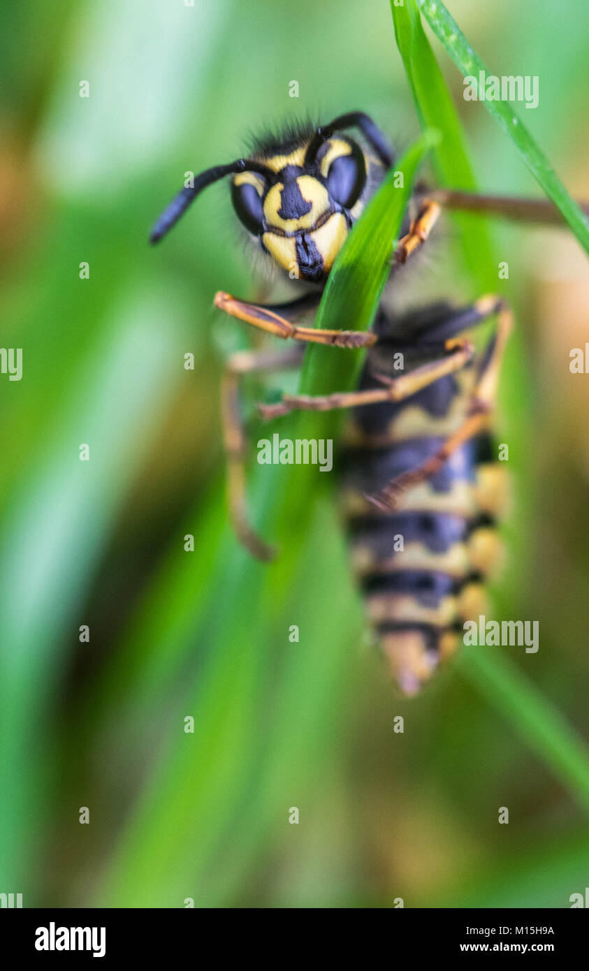 close up of a Wasp trying to climb a blade of grass - Stock Image
