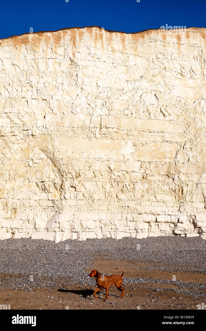 tall white chalk cliff face with a sandy pebble beach at the bottom of the cliff a dog is walking on the beach, - Stock Image