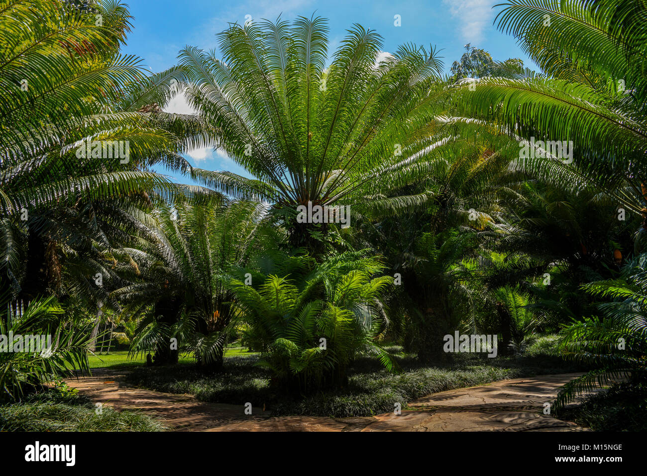 Palms grow like grasses, with sheathes that wrap around the stems or trunks then give rise to a leaf - captured - Stock Image