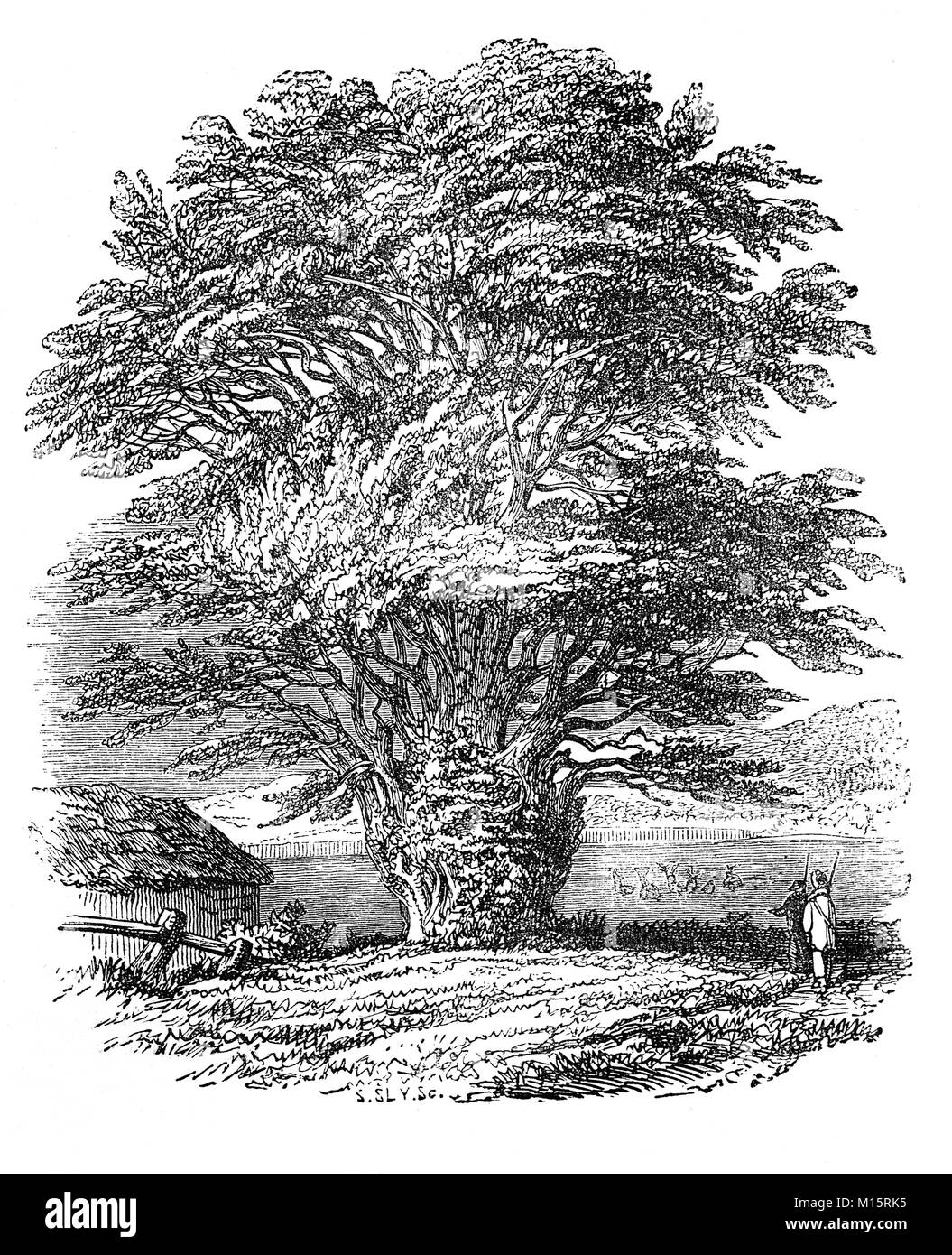 A yew tree at Fountains Abbey, founded in 1132, it's one of the largest and best preserved ruined Cistercian - Stock Image