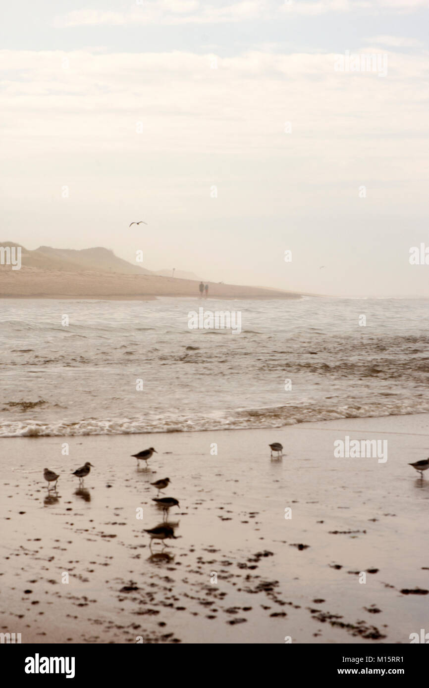 Small Calidris birds play in the water at Head of the Meadow Beach in Cape Cod Stock Photo