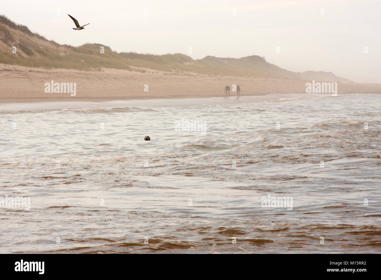 A Grey Seal pops its head out of the water at Head of the Meadow Beach in Cape Cod Stock Photo