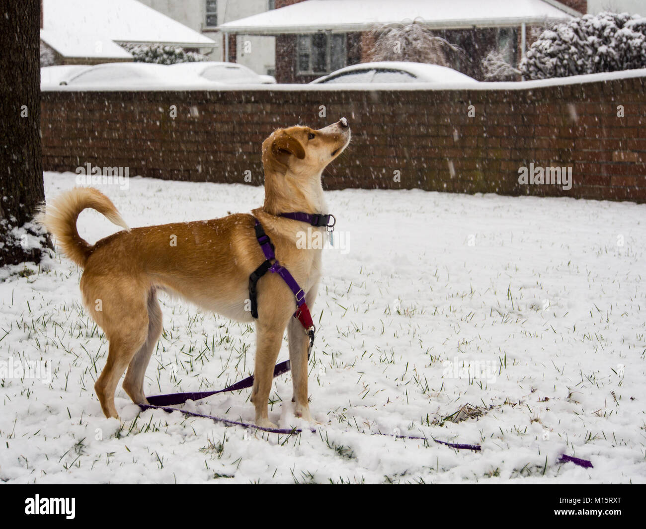 Curious Dog Watching Snow Fall, Standing in Yard - Stock Image