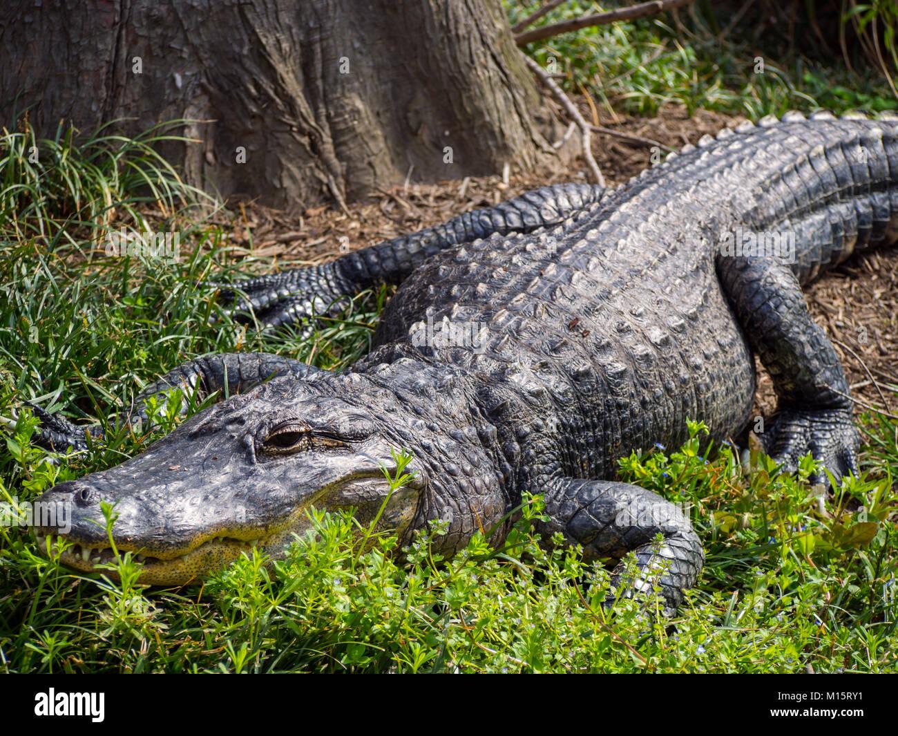 Alligator Laying on Ground, Zoo Animal - Stock Image