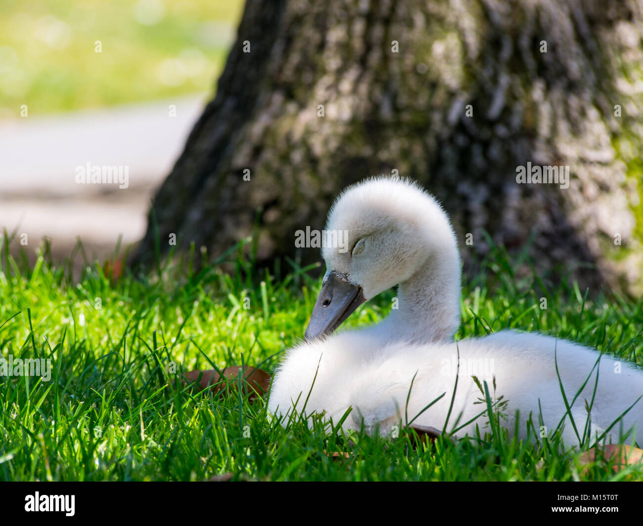 Baby Swan Sleeping in Green Grass Lawn Stock Photo
