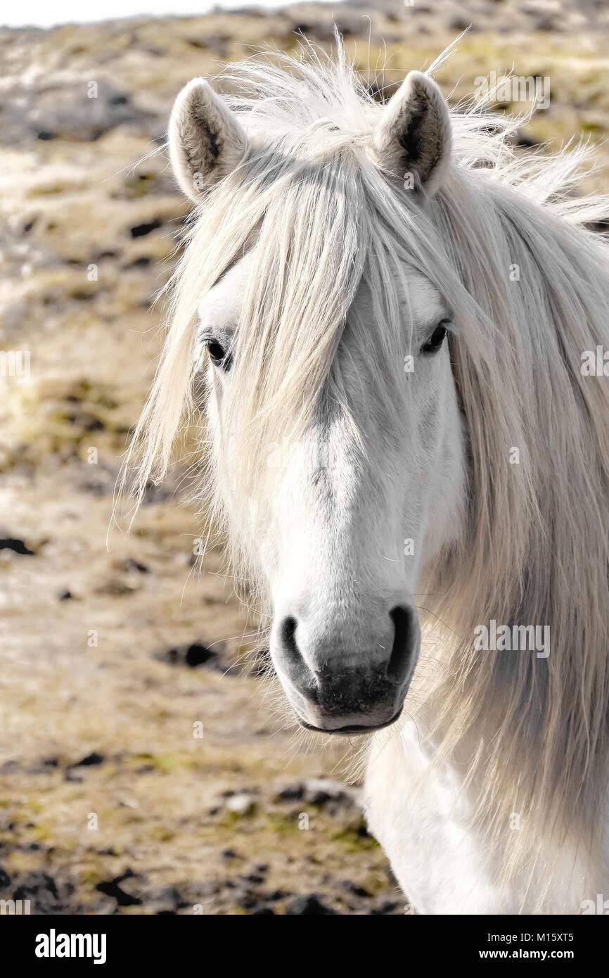 White Horse - Stock Image