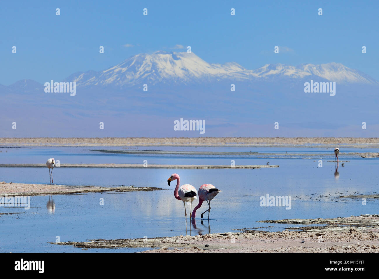Andes Flamingos (Phoenicoparrus andinus) in shallow salt lake,National Reserve Los Flamencos,Reserva nacional Los - Stock Image