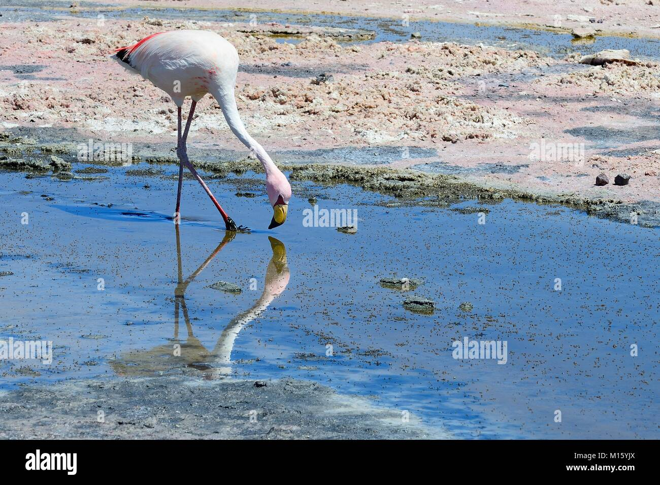 James's flamingo (Phoenicoparrus jamesi) foraging in shallow salt lake,National Reserve Los Flamencos - Stock Image