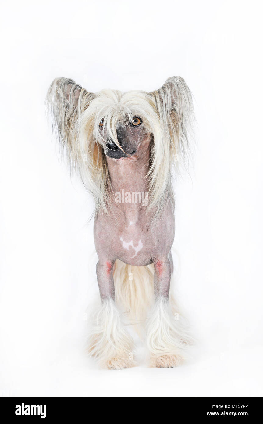 Dog breed Chinese Crested Hairless,male dog,standing,studio shot - Stock Image