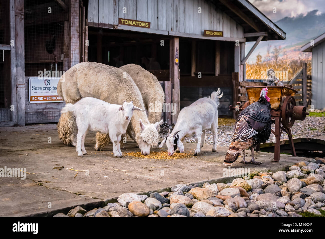 Farm animals at the DeMille's Farm Market petting zoo, a fun place for young families to visit in Salmon Arm, - Stock Image