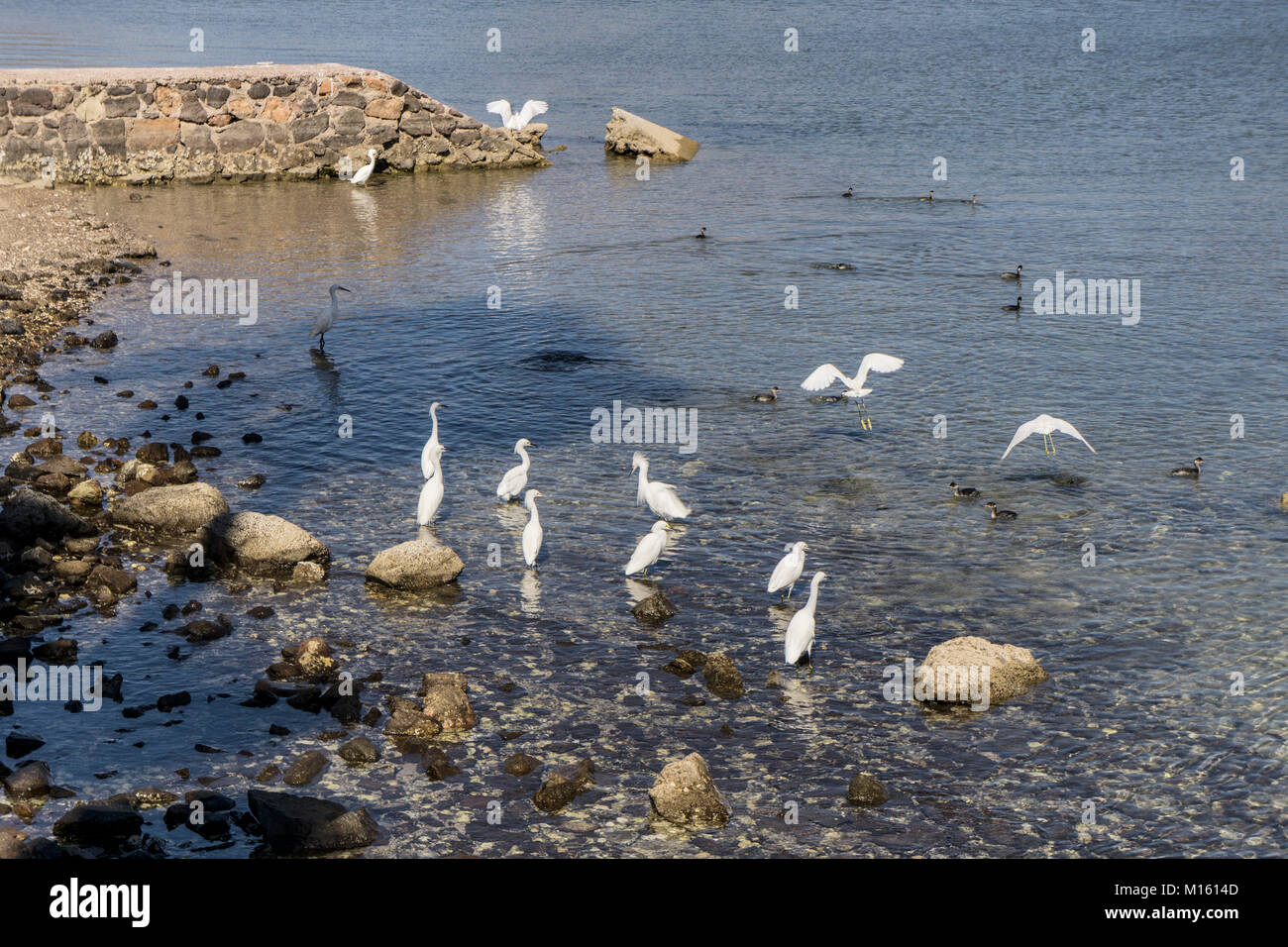 grouping of beautiful elegant small white snowy egret egrets stand patiently waiting & watching for prey in - Stock Image
