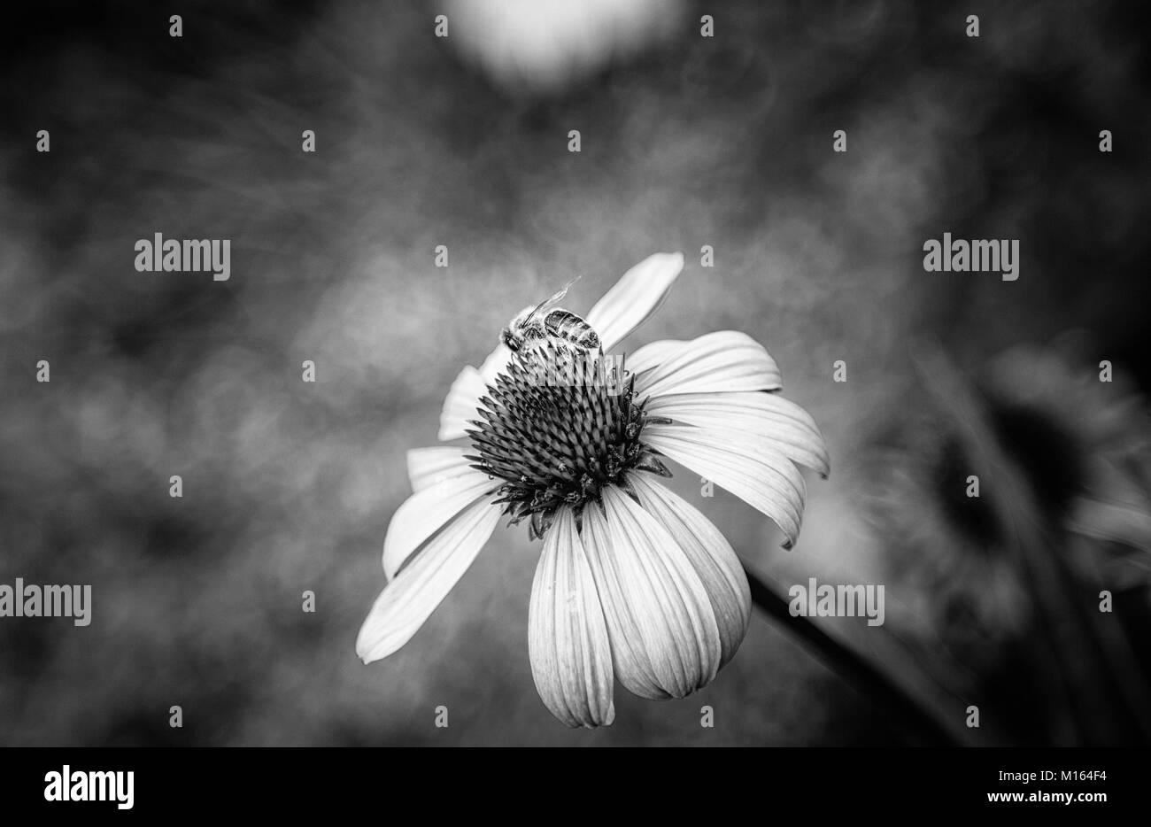 Bee at work on flower (Makro) - Stock Image
