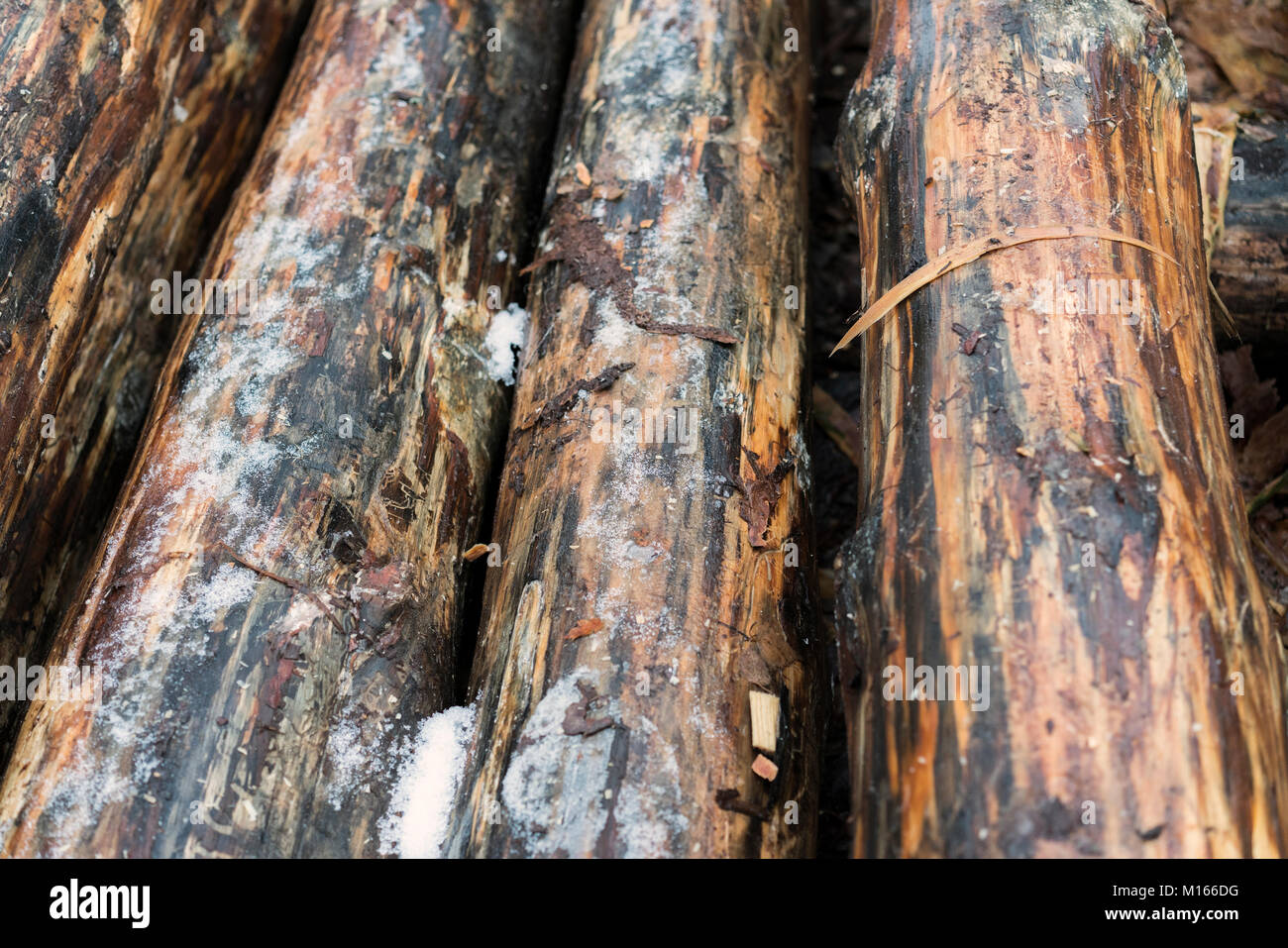 logs of logs with bark removed. Close-up - Stock Image