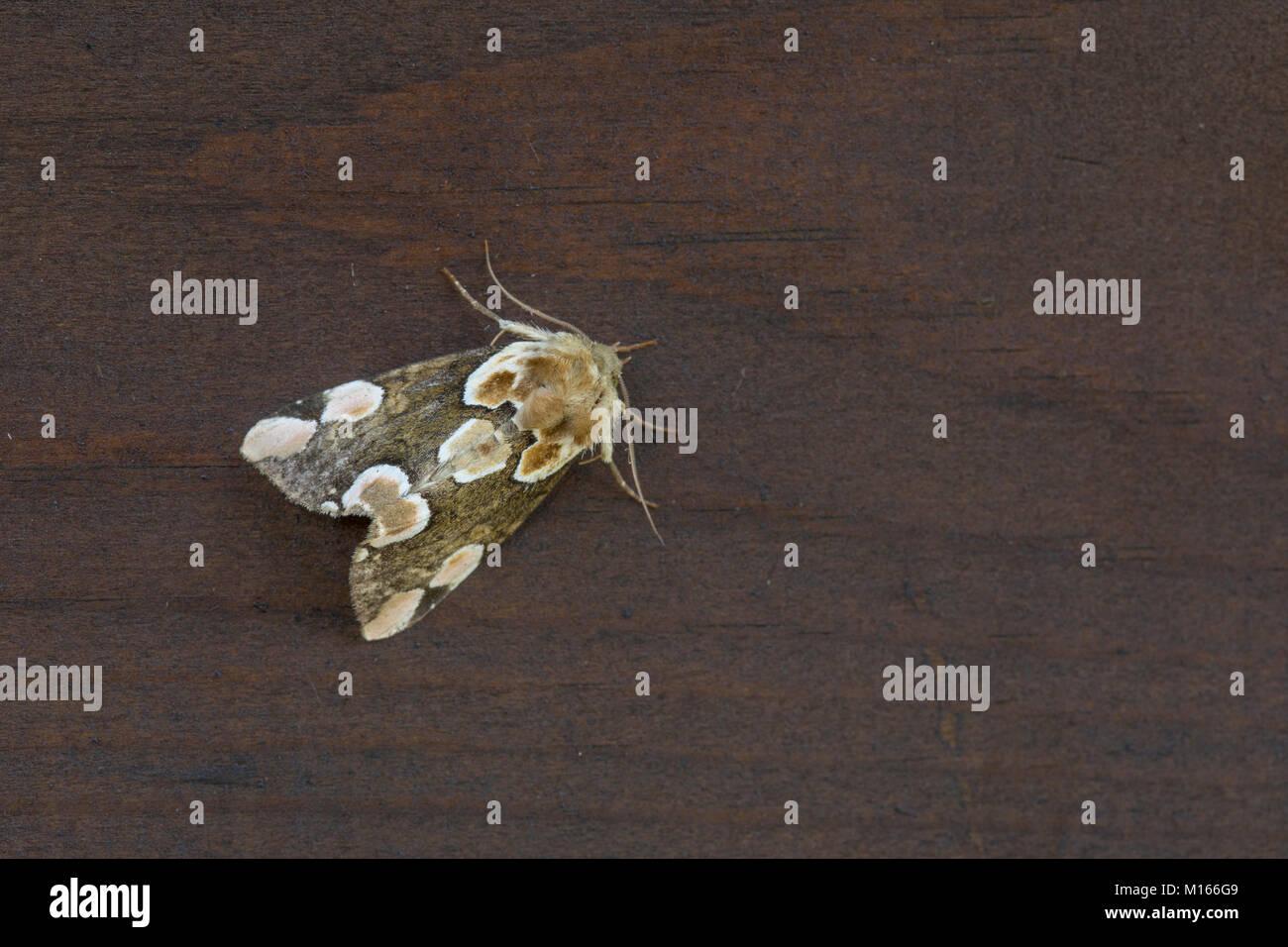 Peach Blossom Moth; Thyatira batis Single on Wood Cornwall; UK - Stock Image