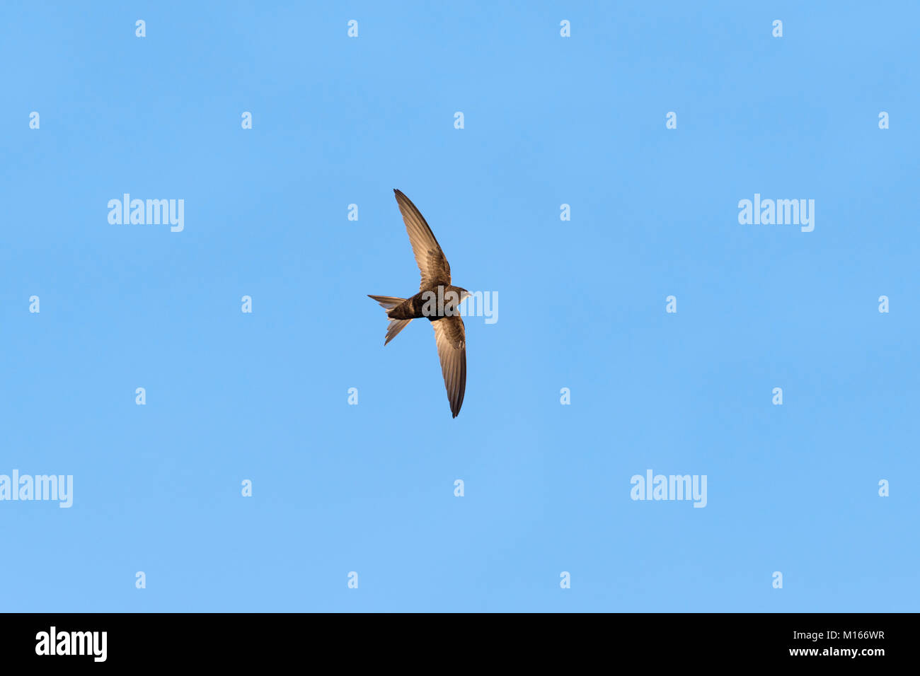 Swift; Apus apus Single in Flight Yorkshire; UK - Stock Image