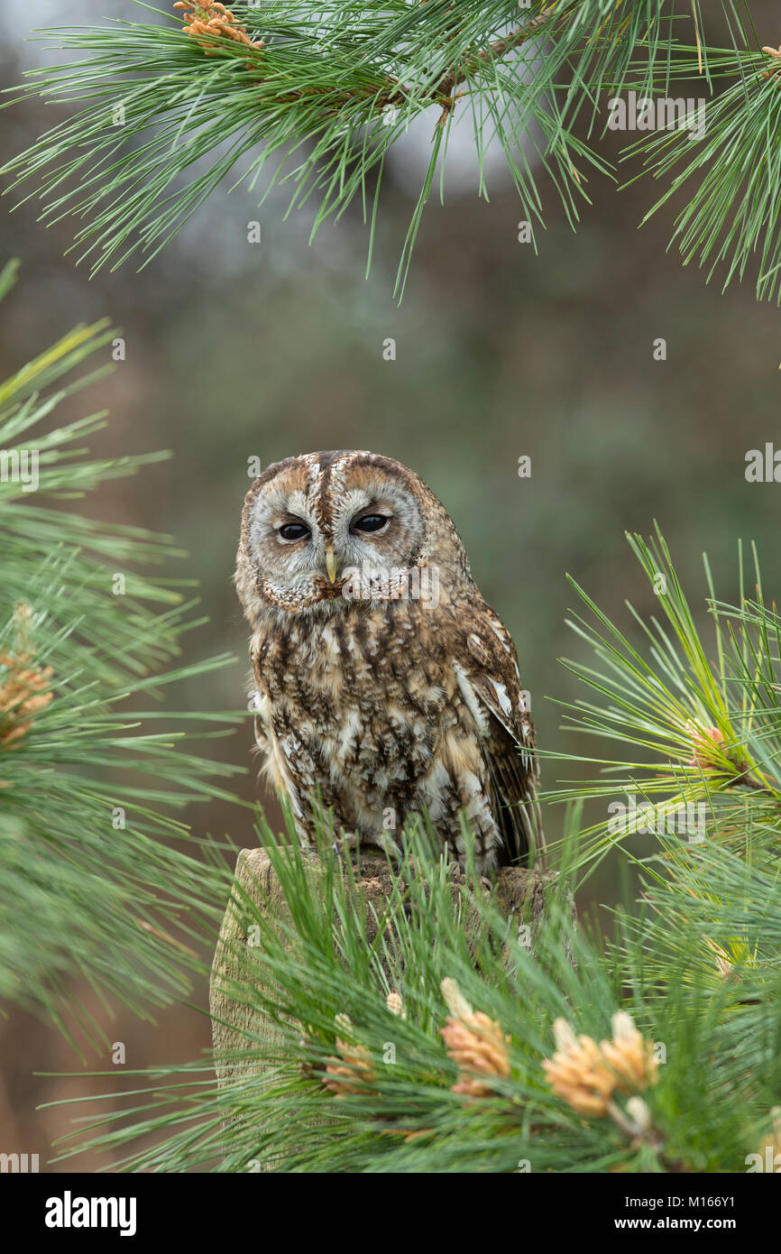 Tawny Owl; Strix aluco Single in Pine Cornwall; UK - Stock Image