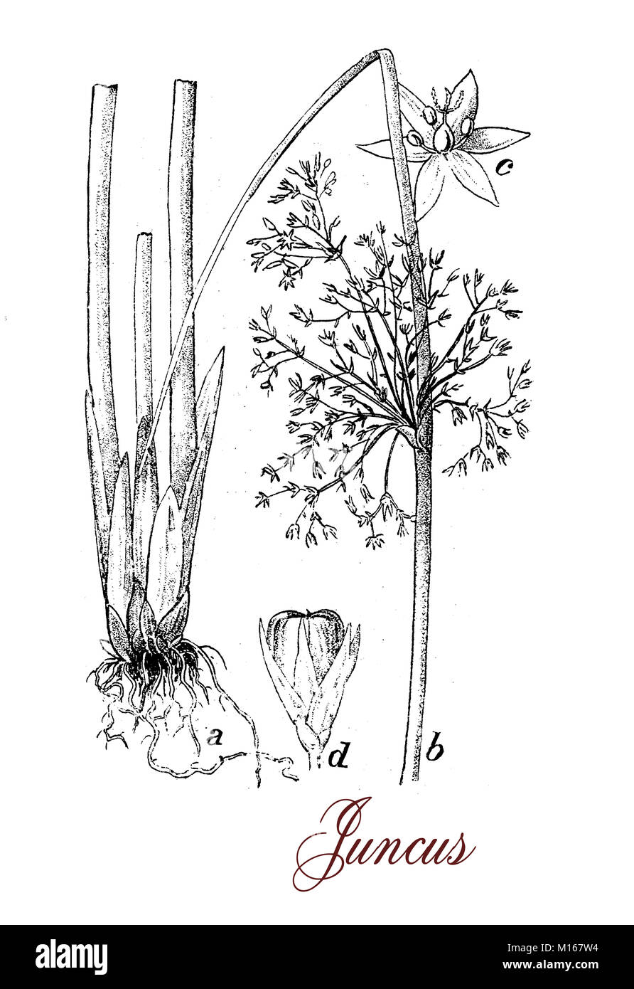 Vintage engraving of Juncus or rushes,flowering herbaceous plant of Juncaceae family, grows in cold and wet environment - Stock Image