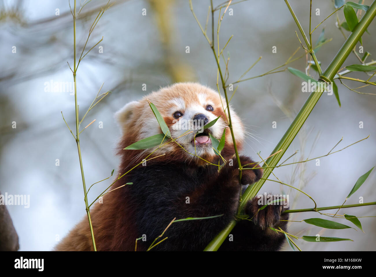 Detailed close up of super cute young red panda (Ailurus fulgens) perched high in a tree eating leaves. Holding - Stock Image