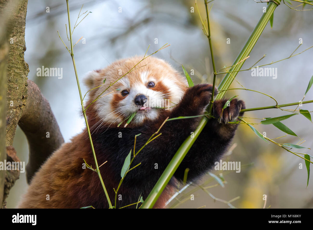 Detailed close up of cute young red panda (Ailurus fulgens) perched high in tree nibbling foliage. Holding on with - Stock Image