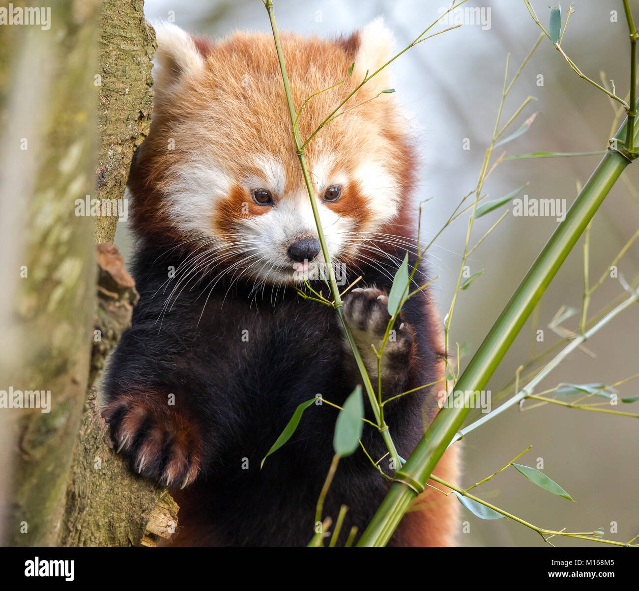Close up of cute young red panda (Ailurus fulgens) perched high in tree holding on with a big furry paw. He stares - Stock Image