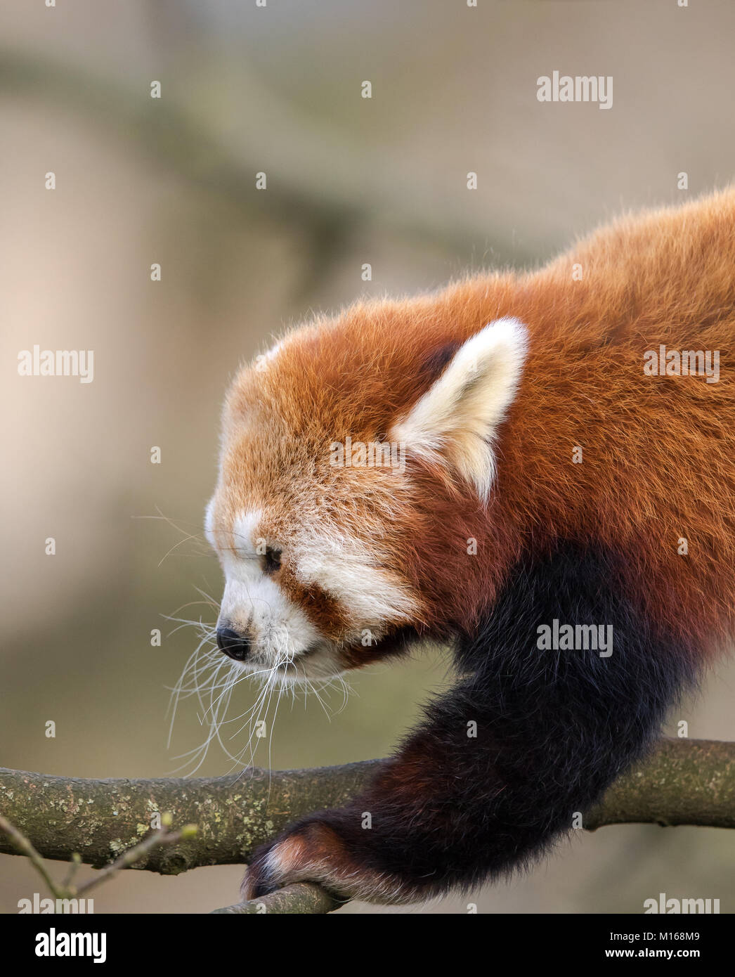 Close-up, side view of young red panda (Ailurus fulgens) climbing in trees. Detailed head & shoulder shot. Fluffy - Stock Image