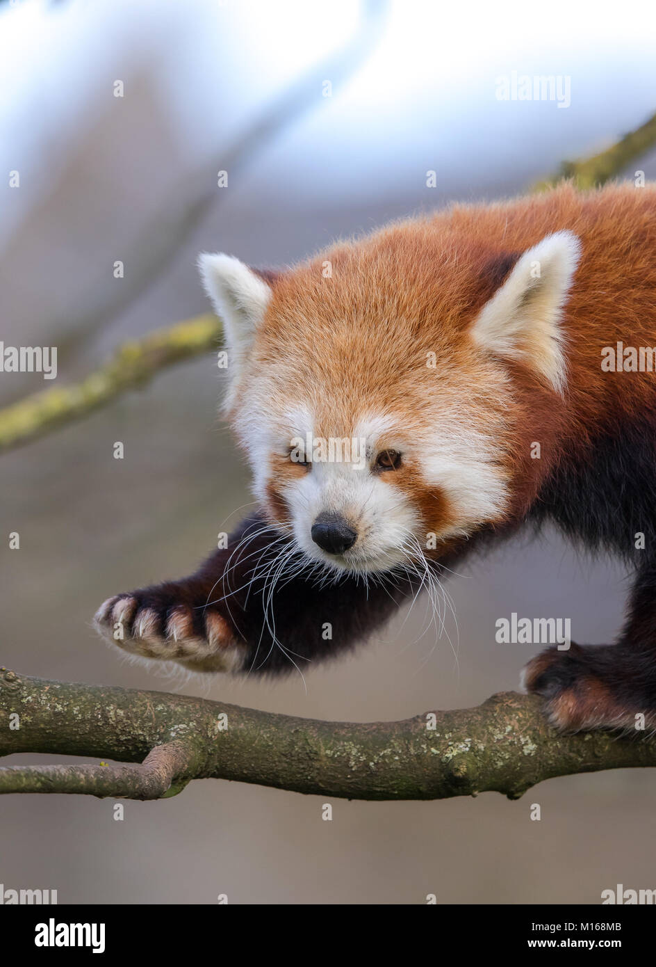 Tight close up of single, cute young red panda (Ailurus fulgens) climbing trees & having fun! Big fluffy ears, - Stock Image