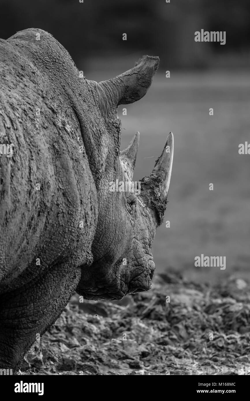 Detailed, monochrome animal photography: rear view close up of isolated adult white rhinoceros standing outdoors - Stock Photo