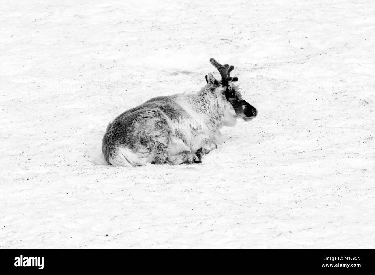 reindeer relaxing in a snowfield in Spitsbergen, Svalbard, Norway - Stock Image