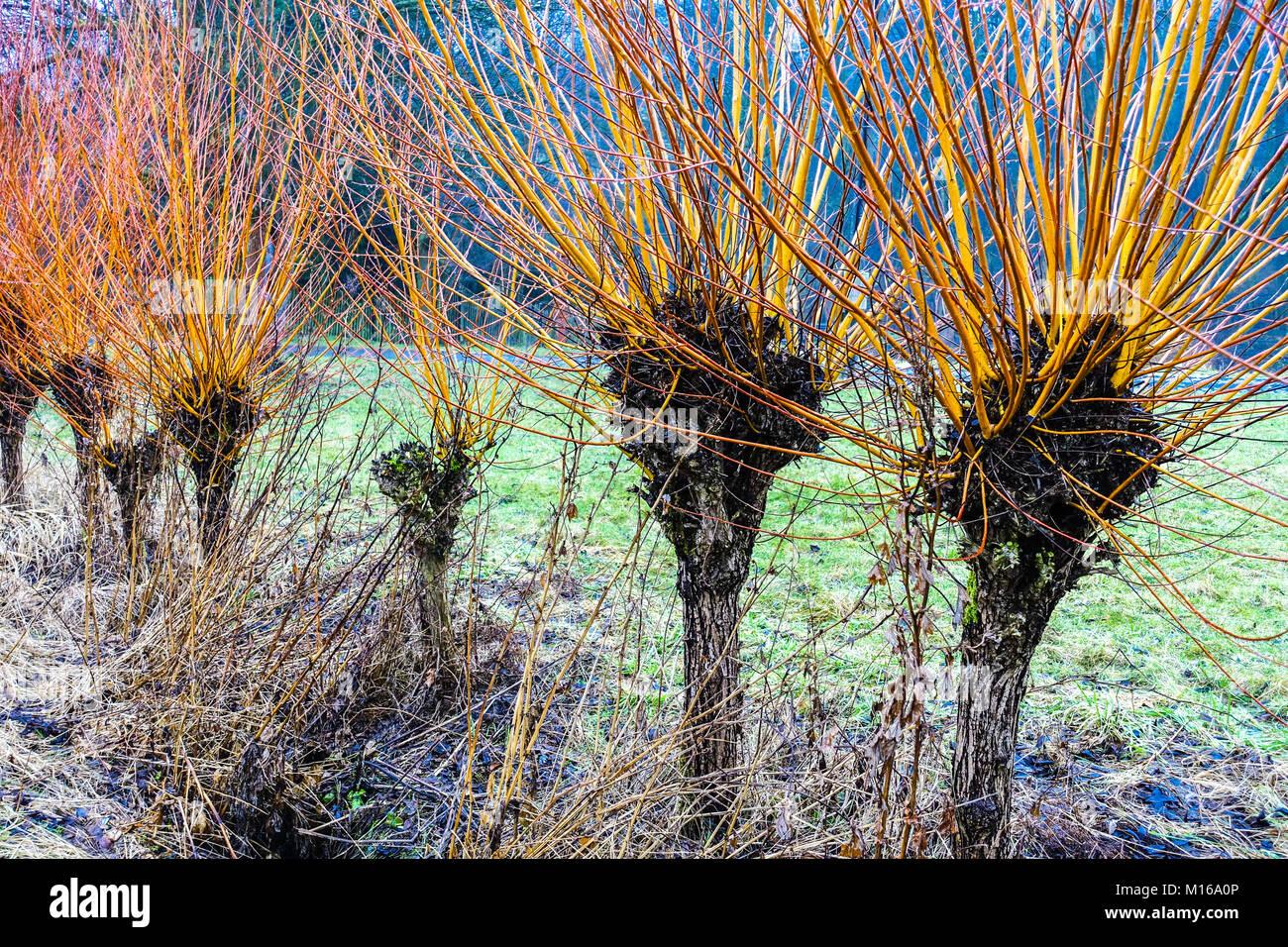 Osier, Salix viminalis, pollard willows, used for basketry - Stock Image
